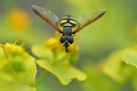 abdomen yellow jacket: Wasp on a flower Stock Photo