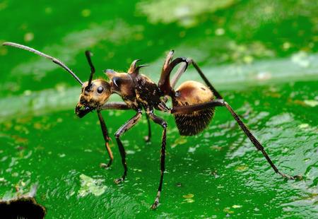 mandibles: Macro shot of a spiny black ant