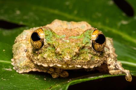 croaking: Frog Stock Photo