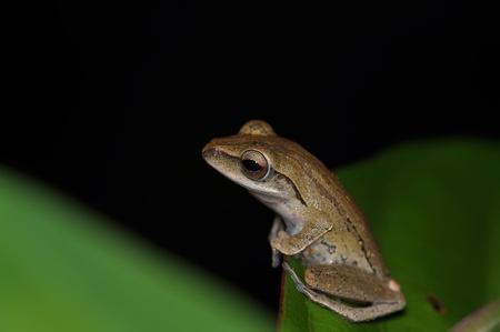 primate biology: Amphibian Stock Photo