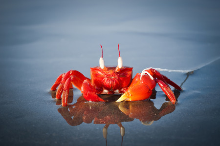 pinching: Red Crab