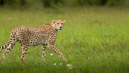 Leopard Standing On Field Stock Photo