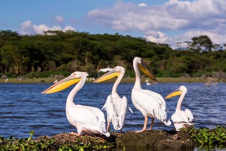 Pelicans Against River