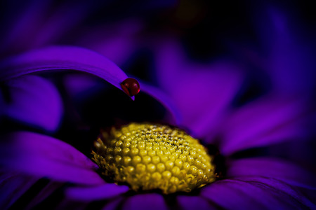 osteospermum: purple African daisy wildflower, abstract close up still life, artistic selective focus, intentional shallow depth of field Stock Photo