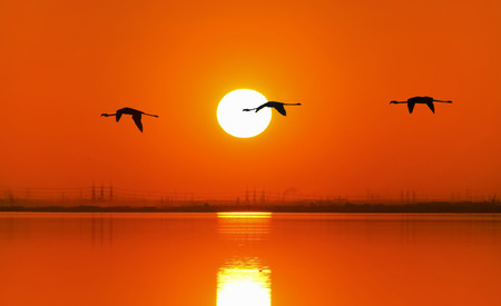 curved leg: Three flamingos flying in the sky by sunset