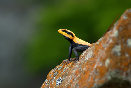 spiny: Black and orange lizard on a rock Stock Photo