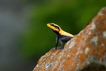 prin: lagarto negro y naranja en una roca Foto de archivo