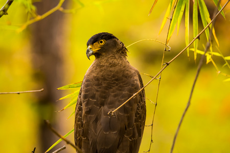 habitats: The crested serpent eagle is a medium-sized bird of prey that is found in forested habitats across tropical Asia.