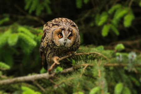 barred: A barred owl perched in a tree in a wooded area Stock Photo