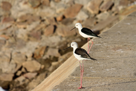 black winged stilt: black winged stilt