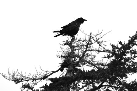 carrion: Carrion Crow sitting on the branches of a tree . White and Black Photo
