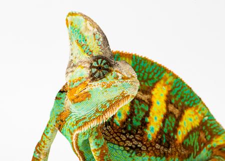 rear end: Yemen chameleon isolated on white background