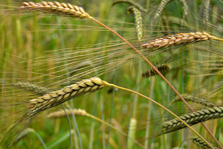 secale: Rye Secale cereale is a grass grown extensively as a grain and as a forage crop Stock Photo