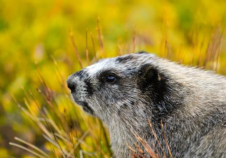 young alpine marmot Stock Photo