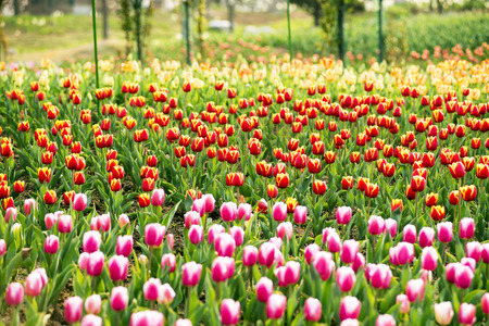 Tulips flower garden Stock Photo