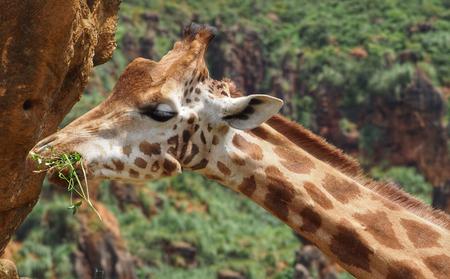Giraffe eats