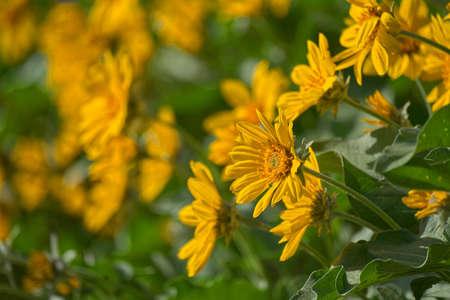 Yellow Marigold / Daisy flower in a garden Banco de Imagens