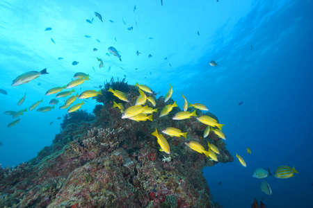 Blue-striped snappers in the Red Sea.