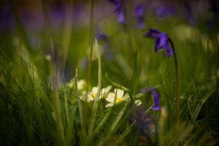 Primrose and bluebell