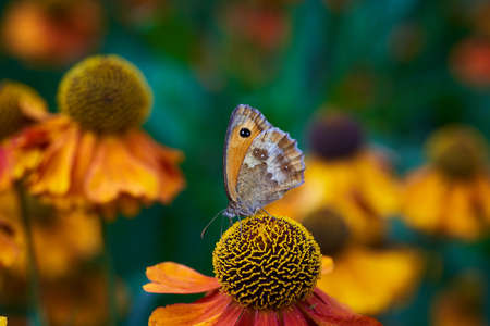 Hedge Brown butterfly