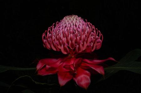Pink waratah Фото со стока