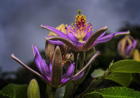 Grewia occidentalis Фото со стока