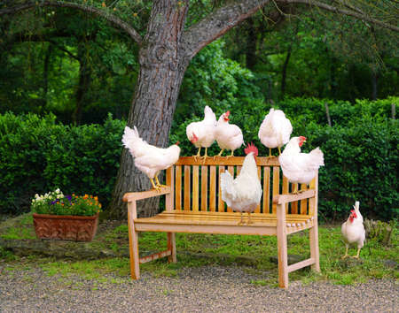 Chickens on back of bench
