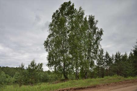 Russian birch. 版權商用圖片
