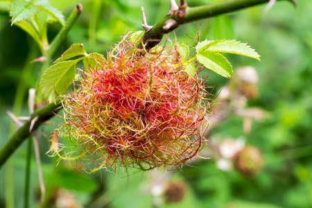 Robin's pincushion gall