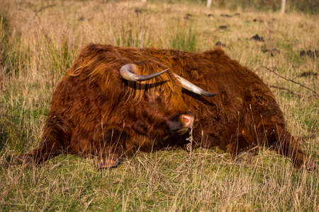 Highland Cow Zdjęcie Seryjne