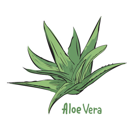 treatment plant: illustration of aloe vera. Herbal ingredient in cosmetology or pharmacy. Treatment plant sketch.