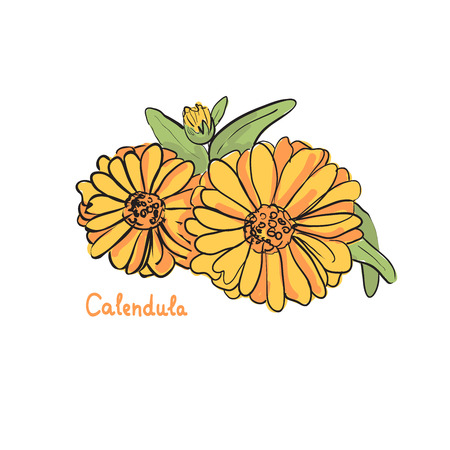calendula: Hand drawn illustration of medicinal calendula plant. Unique picture of herbs.