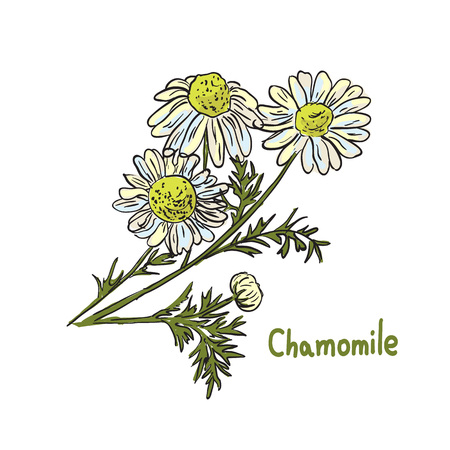 treatment plant: illustration of medicinal chamomile. Herbal cosmetic ingredient. Hand drawn botanical  sketch of treatment plant. Illustration