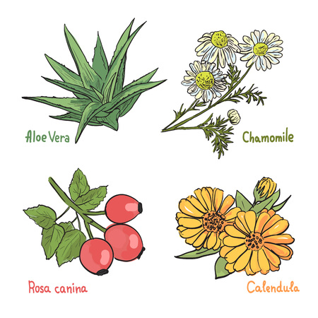 calendula: Collection of different medicinal plants on the white background. Chamomile, Aloe, Rosa and Calendula. Healthy ingredients. Illustration
