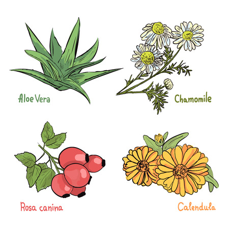 calendula: collection of medicinal plants and herbs on the white background. Aloe, Chamomile, Calendula and Brier plants. Cosmetic ingredients.