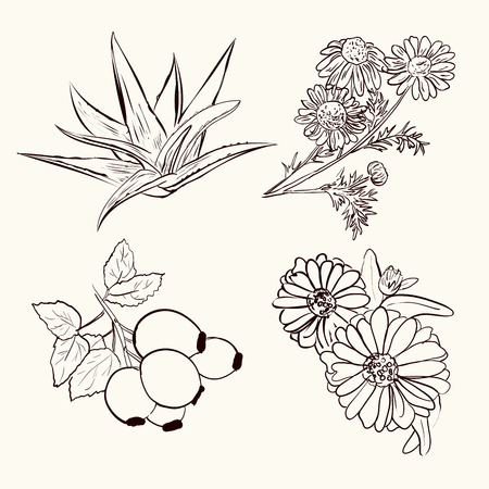 calendula: collection of different medicinal plants on the white background. Chamomile, Aloe, Rosa and Calendula. Healthy ingredients in sketch style. Illustration