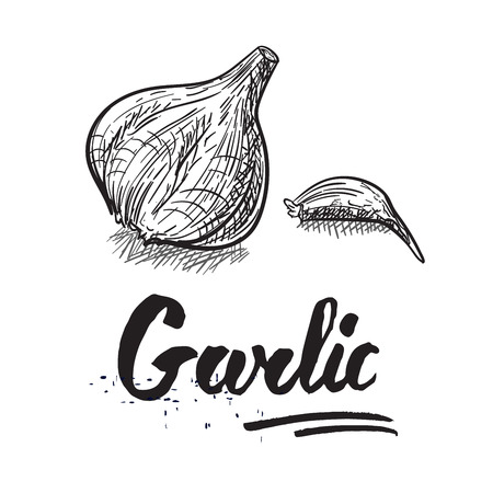 Drawing of garlic vegetable. Garlic sketch. Spice for cooking.