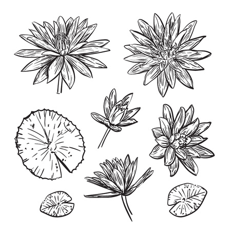 Hand drawn lotus illustration. Sketch of different lotus flowers on the white background. Illustration