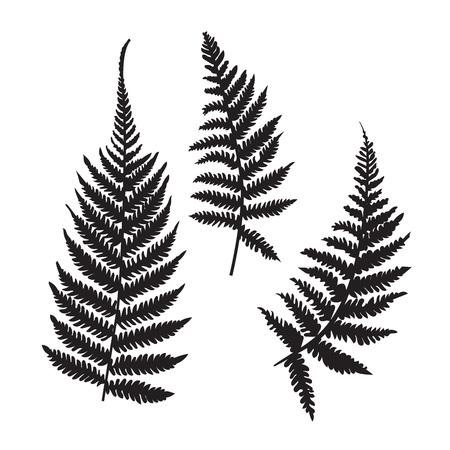 Accumulazione della siluetta della felce di vettore. Stampe isolate nere di foglie di felce su sfondo bianco.