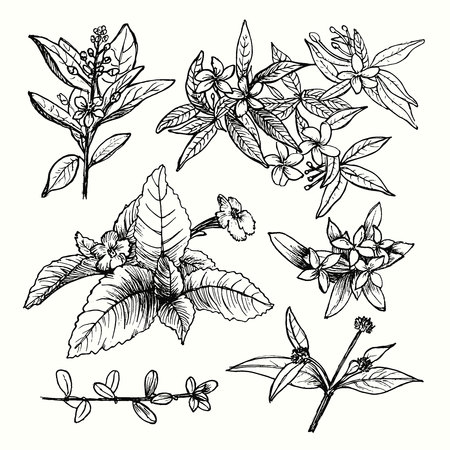 Vector set of hand drawn garden plants, herbs, flowers, leaves, twigs, branches. Vintage floral sketch collection with jasmine. Detailed botanical elements for decoration. Иллюстрация