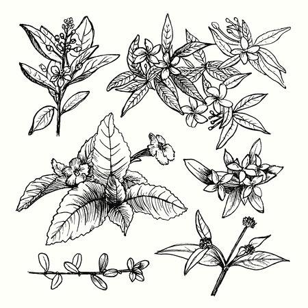 Vektorsatz von Hand gezeichneten Gartenpflanzen, Kräutern, Blumen, Blättern, Zweigen, Zweigen. Vintage Blumenskizzenkollektion mit Jasmin. Detaillierte botanische Elemente zur Dekoration.