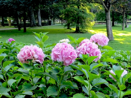 Hydrangeas in a garden in pink tones.