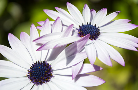 blue daisy: Close Up Detail of White, Purple and Blue Daisy with Bug in Petal Stock Photo