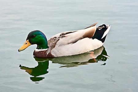 mallard: greenhead masculino del pato en la charca