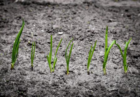 organically: closeup organically grown onions. Fresh and green