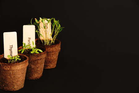 Peat pots of seedlings on a black background. PARSLEY, THYME, CILANTRO. THE STYLISH WOODEN PLANT LABELS. With copy space