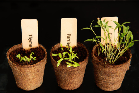 Peat pots of seedlings on a black background. PARSLEY, THYME, CILANTRO. THE STYLISH WOODEN PLANT LABELS Stock Photo
