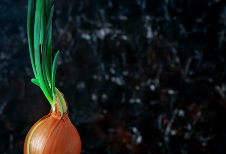 The onions sprouted on a dark background. Concept as the beginning of a new one. Raw and vegan food concept.