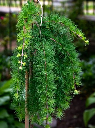 Lamenting larch on a stump grows in the garden.