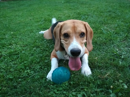Cute dog with his ball in the park